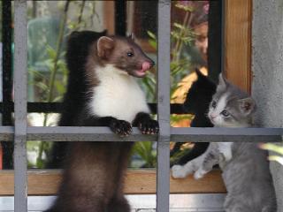 Fouine et petit chat