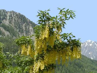 Cytise des Alpes