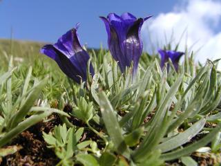Gentiane alpine